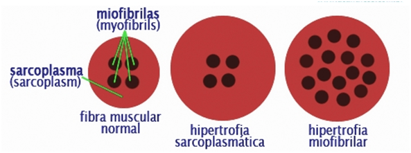 Tipos de Hipertrofia - Josemi Entrenador Personal Madrid